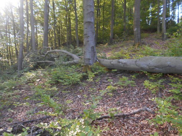 Vrchná časť spadnutého stromu