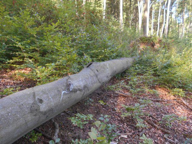 Tento záber je spravený preto, aby si čitateľ mohol lepšie odhadnúť dĺžku prevráteného stromu