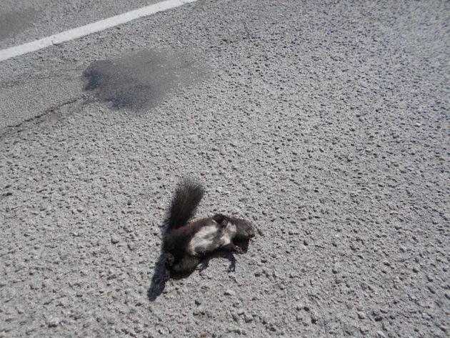 Veď aj tá veverička, napriek tomu, že je veľmi mrštná a rýchla nemala šancu prebehnúť cez cestu štvorkolesovému predátorovi, keď jeho vodič napriek 50-tke mal strašne naponáhlo. :-( (Veď veveričky sú už aj premnožené a divoko krížené, že máme ryšavé, ale aj čierne, tak komu budú chýbať, keď ich vykántrime, no nie?)