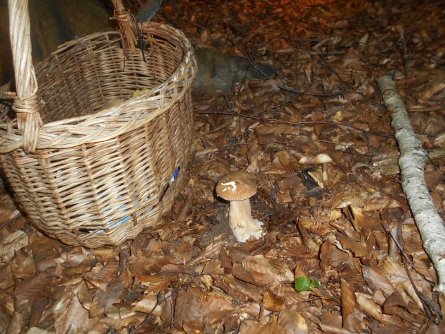 A takýchto som dnes našiel asi 14 kusov. Nazbieral takmer plný kôš dubákov a z toho ak bola 1/4 červivá - nohy -, tak ešte aj toto číslo som prehnal. Tie lejáky pomohli k tomu, že pôda je dobre premočená a tak aj hríby sú odolnejšie voči červom. :-)